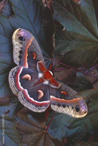 Cecropia Moth On Leaves