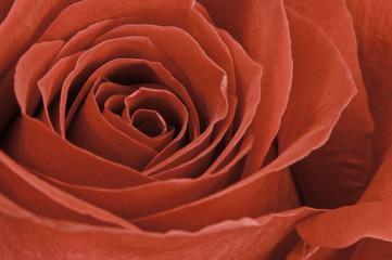 Makro einer roten Rose
