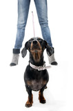 Dachshund on a leash poster