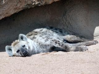 hiena descansando