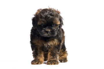 Brown little havanese puppy
