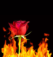 Burning red rose
