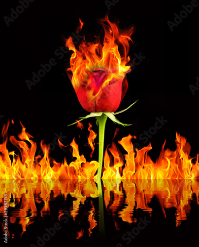 Red rose and fire