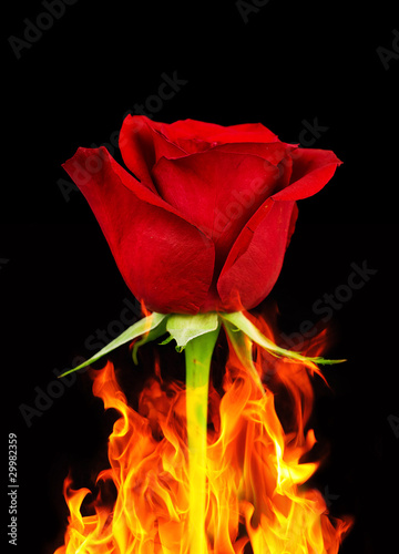 Red rose and flames