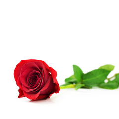 Red rose on white