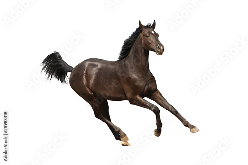 Gallop horse isolated