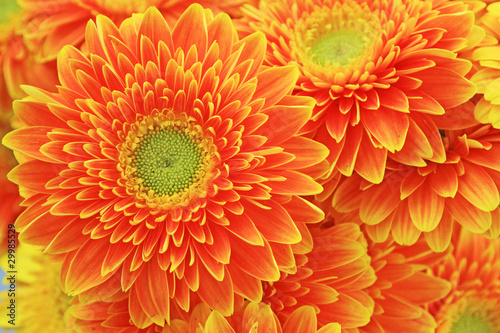 african chrysanthemum flowers
