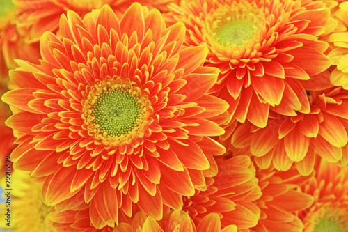 african chrysanthemum flowers
