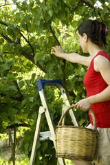 Lady picking fruits