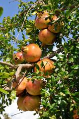 Ripe pomegranates (Punica granatum) in the tree
