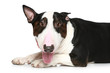 Bull Terrier lying on a white background