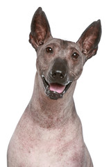 Close-up portrait of a Peruvian hairless dog