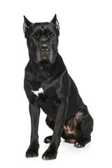 Cane Corso dog on a white background
