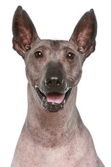 Peruvian hairless dog. Close-up portrait