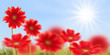 Gerberas rouges, ciel bleu et soleil