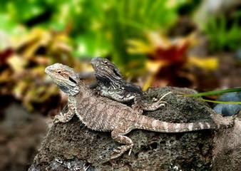 Lizard tuatara