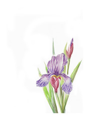 Watercolor of iris flower