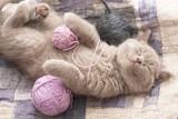 Fototapety British kitten sleeping