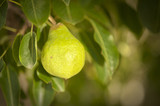 young pear growing on tree