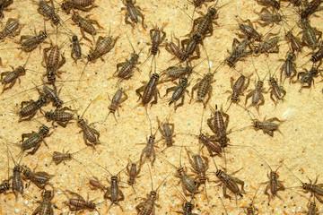 Crickets in farm
