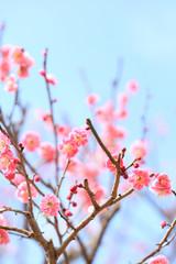 ピンクがきれいな紅梅