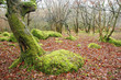 a gnarled moss covered oak tree stands amongst fallen leaves