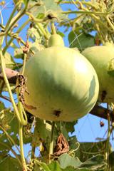 Bottle gourd - Legenaria sicerari stand.