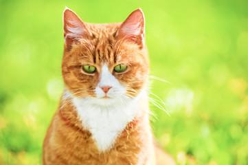 Redheaded cat on green grass