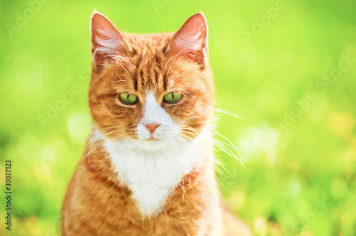 Redheaded cat on green grass