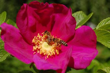 Honey bees on wild roses
