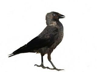 Jackdaw isolated on white background Corvus monedula