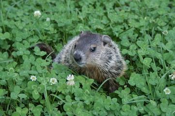 Groundhog in Clover