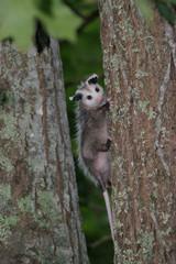 Virginia Opossum, Juvenile