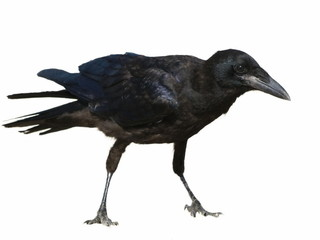 Carrion Crow Corvus corone isolated on a white