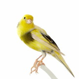 Yellow canary Serinus canaria isolated on white