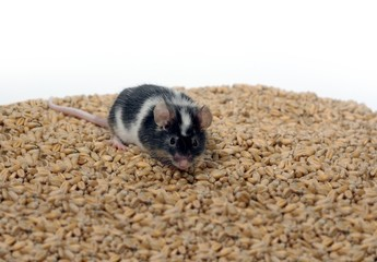 eating wheat mouse