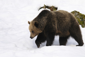 Brown Bear, Ursus arctos walking in the snow