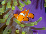 Colorful clownfish living in host anemone. poster