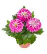 pink chrysanthemum flowers in pot