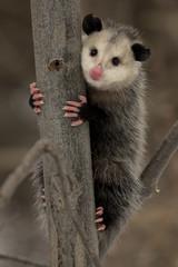 Virginia Opossum (Didelphis virginiana) - Ontario, Canada