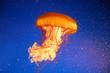 Qualle Jellyfish
