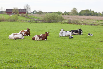 Resting cows on the field