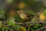 Common Chiffchaff, phylloscopus collybita