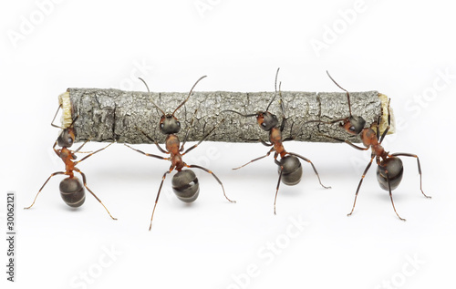 Papiers peints Porter team of ants work with log, cooperation and teamwork