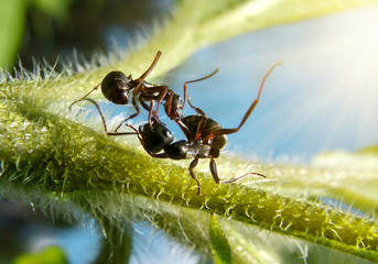 black ants fighting, macro action