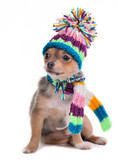 Chihuahua Puppy Dressed For Cold Weather With Scarf and Hat