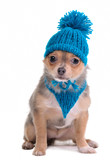 Chihuahua Puppy Dressed With Blue Scarf and Hat With Pompom