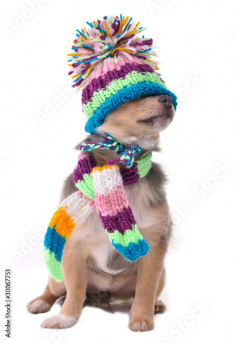 Closed eyes concept. Chihuahua Puppy With Hat Pulled Over Eyes