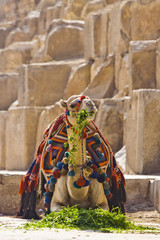 Camel having a lunch in front of the pyramids