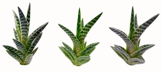 Variegated Aloe variegata